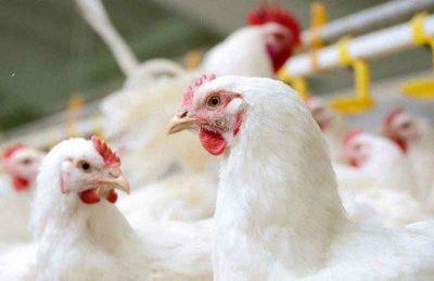 چرایی افزایش نرخ مرغ بیش از مصوبه ستاد تنظیم بازار