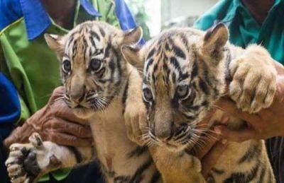 کمیته حقیقتیاب بررسی مرگ توله ببرهای باغ وحش مشهد تشکیل شد